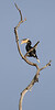 Malabar Pied Hornbill<br /> Karnataka, India