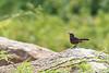 Indian Robin (female)<br /> Karnataka, India