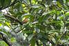 Orange-headed Thrush<br /> Tamil Nadu, India