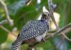 Asian Koel (female)<br /> Kerala, India