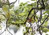 Orange Minivet (male)<br /> Tamil Nadu, India