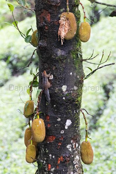 Jungle Palm Squirrel<br /> Tamil Nadu, India