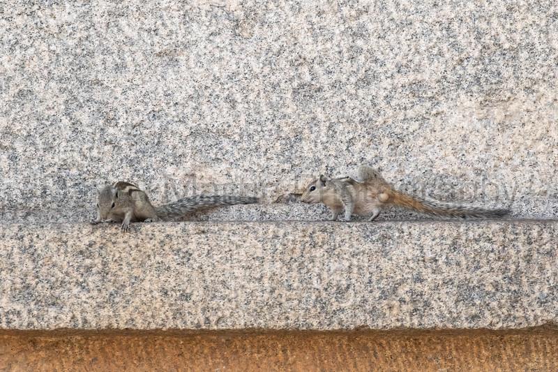 Indian (Three-striped) Palm Squirrels on ancient temple ruins<br /> Karnataka, India