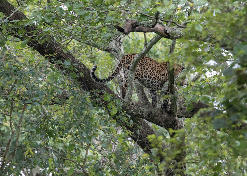 Leopard (male) hanging out in a tree after a large meal.<br /> Karnataka, India