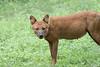 Dhole (Indian Wild Dog)<br /> Karnataka, India