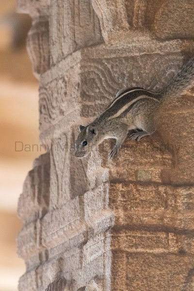 Indian (Three-striped) Palm Squirrel on ancient temple ruins<br /> Karnataka, India