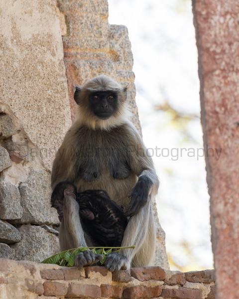 Malabar Gray Langur mother and newborn<br /> Karnataka, India