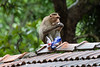 Bonnet Macaque eating stolen eggs<br /> Karnataka, India