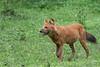Dhole (Asian Wild Dog)<br /> Karnataka, India