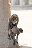 Malabar Gray Langurs attempting to mate<br /> Karnataka, India