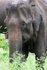 Indian Elephant<br /> Karnataka, India