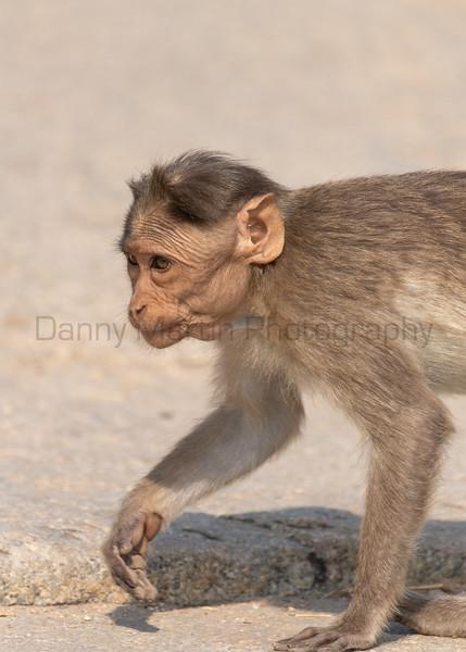 Bonnet Macaque juvenile<br /> Karnataka, India