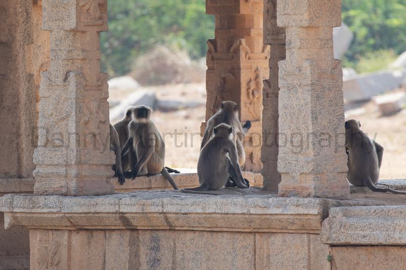 Malabar Gray Langurs loafing<br /> Karnataka, India