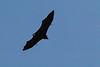 Indian Flying Fox<br /> Kerala, India