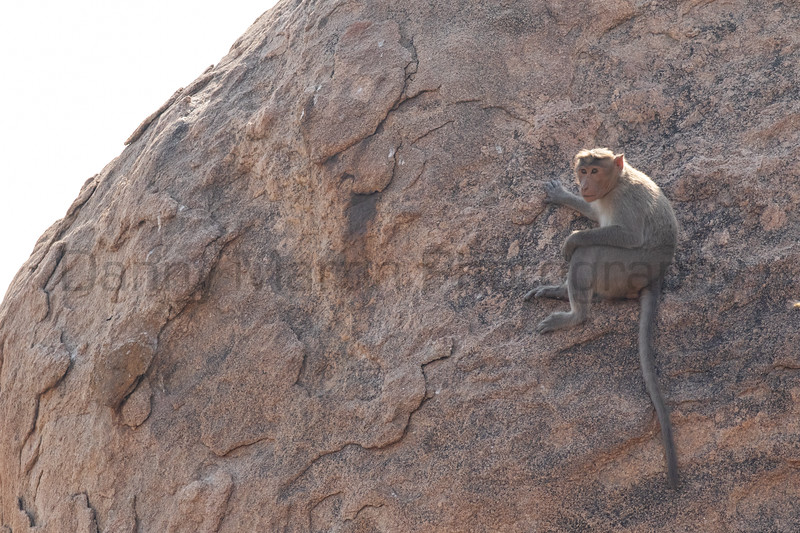 Bonnet Macaque<br /> Karnataka, India