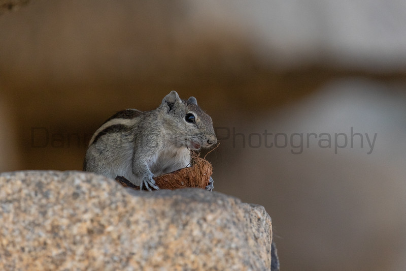 Indian (Three-striped) Palm Squirrel feeding on a piece of discarded coconut<br /> Karnataka, India