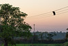 Indian Flying Fox mortality on powerlines<br /> Kerala, India