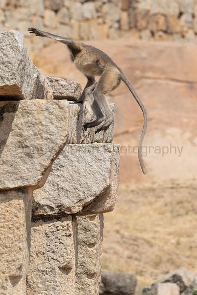 Malabar Gray Langur male easily jumps up onto ruins in Hampi<br /> Karnataka, India