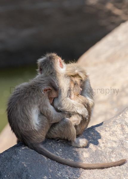 Bonnet Macaques<br /> Karnataka, India