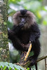 Lion-tailed Macaque<br /> Tamil Nadu, India