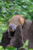 Stripe-necked Mongoose<br /> Karnataka, India