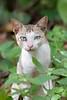 Domestic Cat (feral)<br /> Kerala, India
