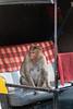 Bonnet Macaque sitting in an autorickshaw<br /> Karnataka, India