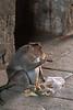 Bonnet Macaque rummaging through trash<br /> Karnataka, India