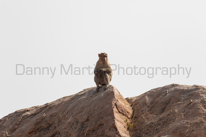 Bonnet Macaque male<br /> Karnataka, India
