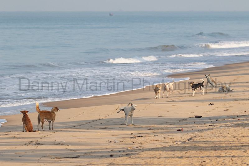Dog packs confronting each other on a fishing beach<br /> Kerala, India