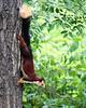 Indian (Malabar) Giant Squirrel<br /> Karnataka, India