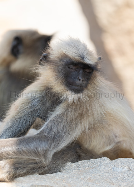 Malabar Gray Langurs napping<br /> Karnataka, India