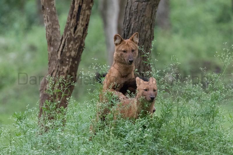 Dholes (Indian Wild Dogs) mating<br /> Karnataka, India