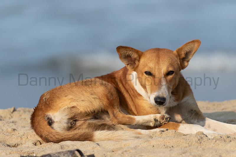 Dog on fishing beach<br /> Kerala, India