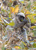 Malabar Gray Langur juvenile feeding<br /> Karnataka, India