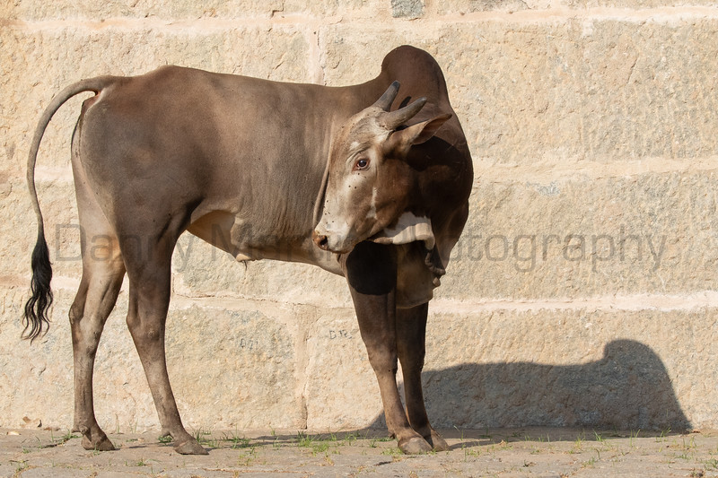 Zebu<br /> Karnataka, India
