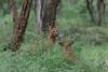 Dholes (Indian Wild Dogs)<br /> Karnataka, India