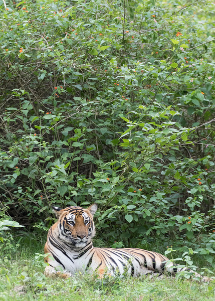 Bengal Tiger (female)<br /> Karnataka, India