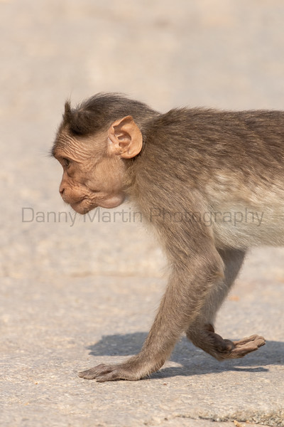 Bonnet Macaque juvenile<br /> Karnataka, India