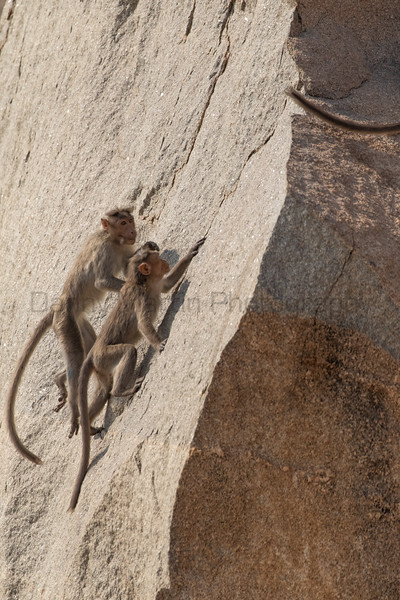 Bonnet Macaque juveniles<br /> Karnataka, India