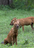 Dholes (Indian Wild Dogs)<br /> Karnataka, India