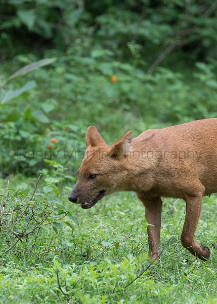 Dhole (Indian Wild Dog)<br /> Karnataka, India