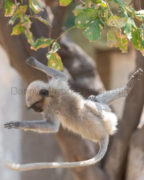 Malabar Gray Langur juvenile playing<br /> Karnataka, India