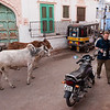 John dodging cows in Jodhpur