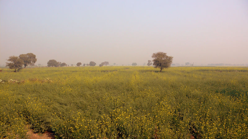 Mustard fields near Bharatpur