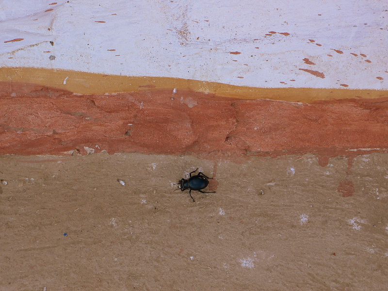An injured desert beetle walks next to a colourful Rajasthani hut.