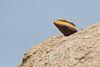 South Indian Rock Agama (Rock Dragon)<br /> Karnataka, India