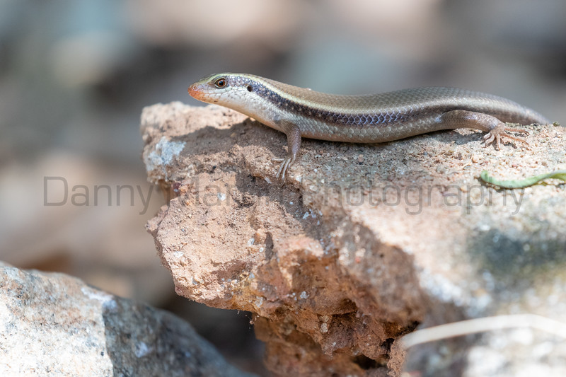 Common Keeled Skink<br /> Kerala, India