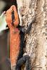 Rock Agama (male)<br /> Telangana, India