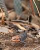 Rock Agama (female, packing dirt on nest)<br /> Telangana, India